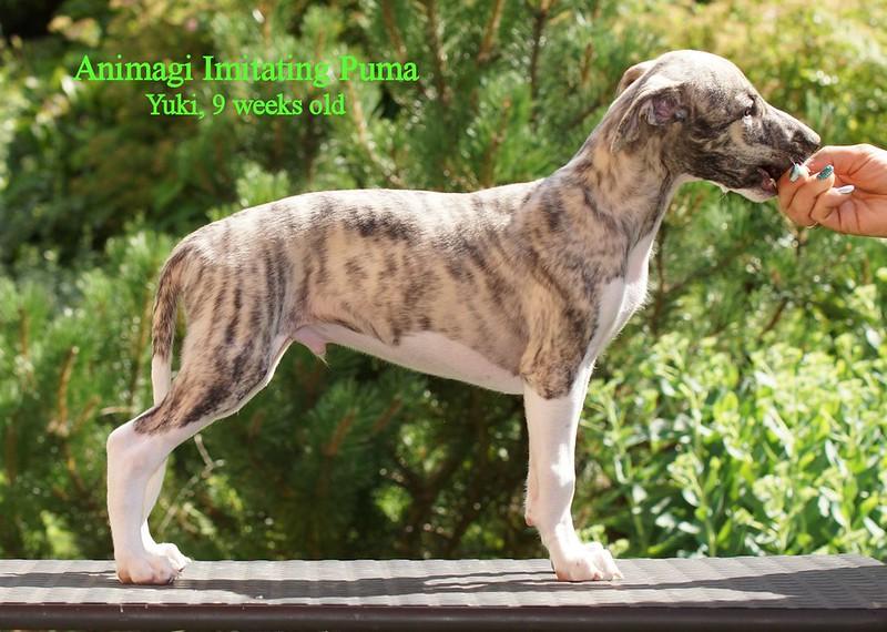 Puma = Yuki