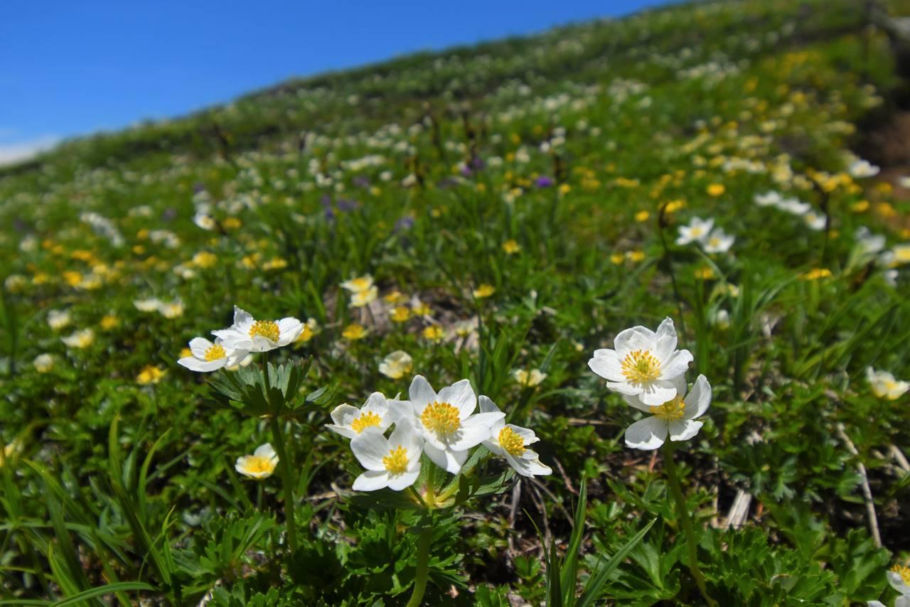 平標山に咲くハクサンイチゲの群生