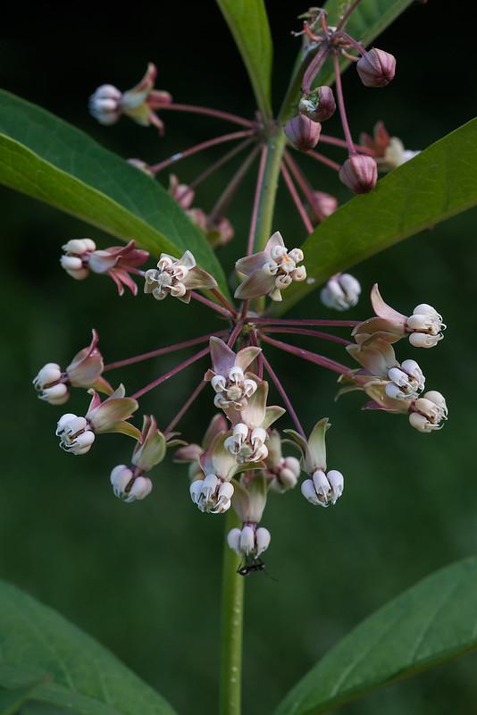 Milkweed hybrid