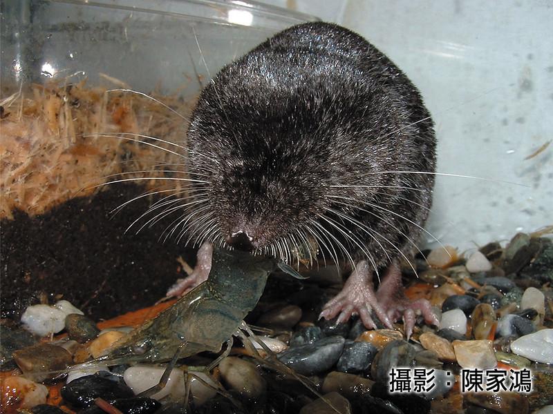 水鼩從「其他」調升為「珍貴稀有」。陳家鴻攝,林務局提供。