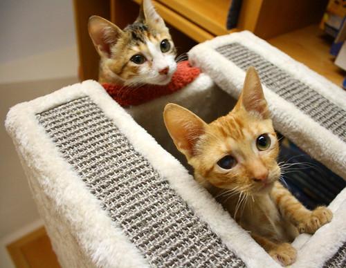 Rohit, gatito naranja cojito súper dulce y bueno, nacido en Abril´18, en adopción. Valencia. RESERVADO. 30037871268_111bd3e9a9