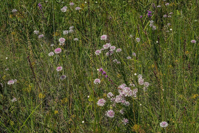 A field of Grassleaf Barbara's Buttons