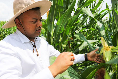 Rishi Prasad examines corn in a field