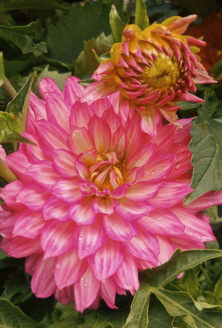 blooming pink dahlia