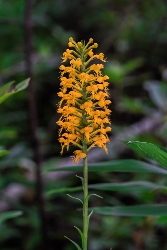 Crested Fringed orchid