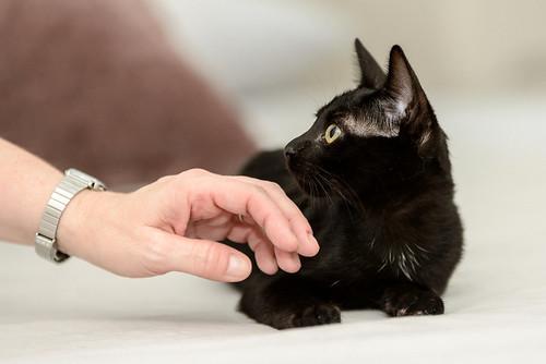 Bombón, gatita negra monísima y dulce esterilizada, nacida en Marzo´18 en adopción. Valencia. RESERVADA. 29572640968_699cdca033