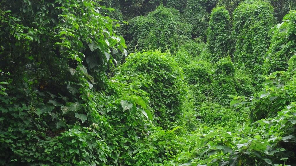 遭小花蔓澤蘭覆蓋入侵的樹林,有如被一塊綠色地毯覆蓋,無法辨認出原本生長的植物。圖片來源:新北市農業局。
