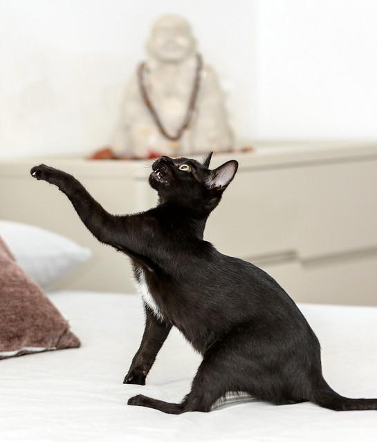 Bombón, gatita negra monísima y dulce esterilizada, nacida en Marzo´18 en adopción. Valencia. RESERVADA. 42727261904_d5127cfec4_z