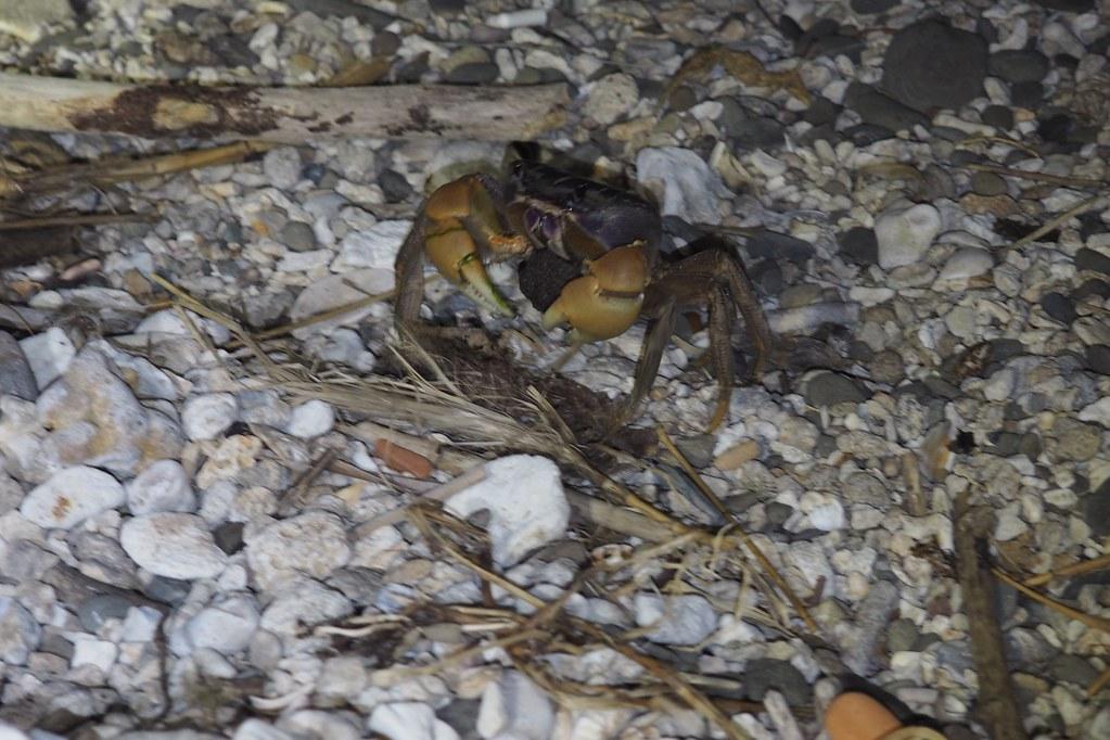 大型陸蟹兇狠圓軸蟹母蟹抱卵下海釋幼。攝影:李育琴