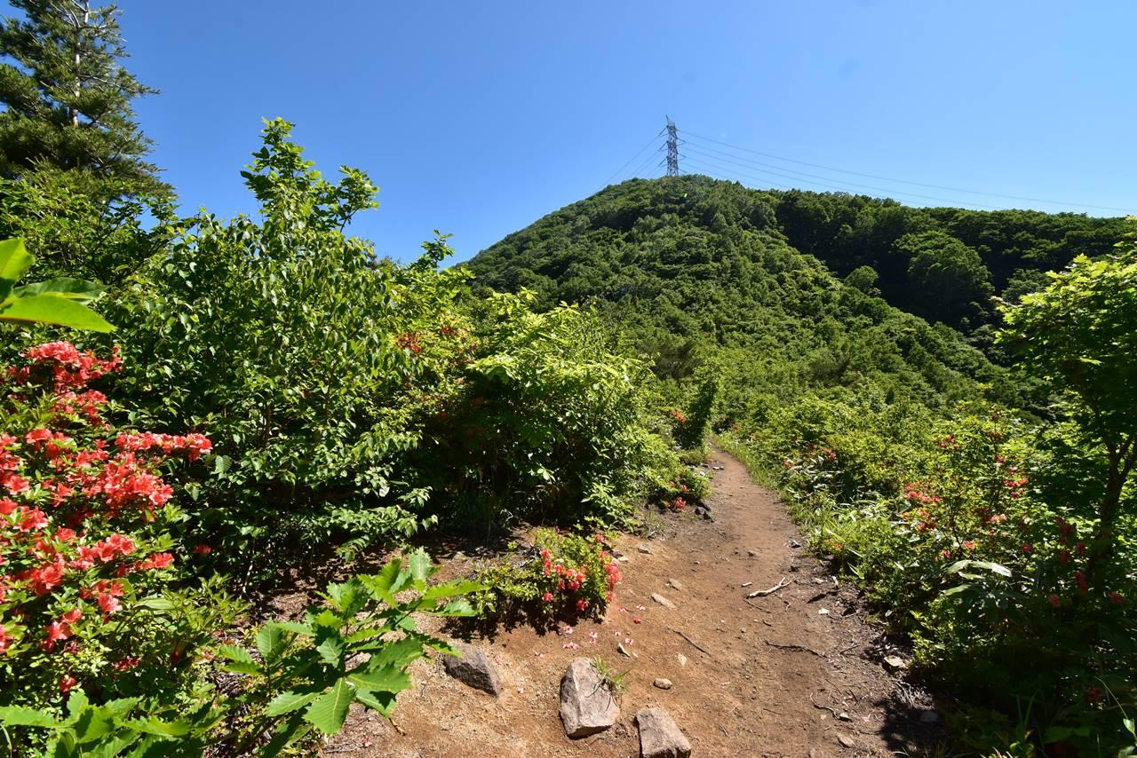 平標山登山道に咲くヤマツツジ