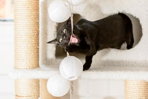 Bombón, gatita negra monísima y dulce esterilizada, nacida en Marzo´18 en adopción. Valencia. RESERVADA. 43395355832_d8ca503ca3