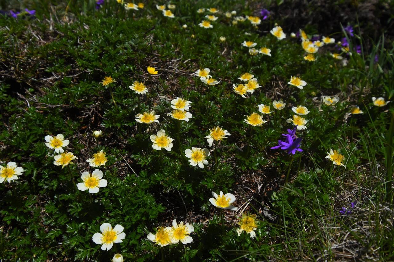 平標山に咲く高山植物