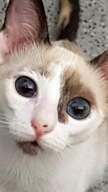 Bora, gatita Siamesa tricolor traviesa y monísima esterilizada, nacida en Marzo´18, en adopción. Valencia. RESERVADA. 43907487331_2b620b962a_z