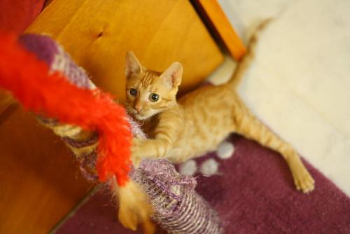 Rohit, gatito naranja cojito súper dulce y bueno, nacido en Abril´18, en adopción. Valencia. RESERVADO. 43188758724_9754b5bb99