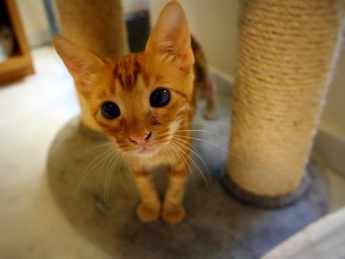 Rowen, gato rojo dibujo tabby activo y guapo esterilizado nacido en Abril´18, en adopción. Valencia. ADOPTADO. 43907617241_5e277dd554
