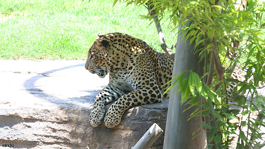 Jaguar descansando