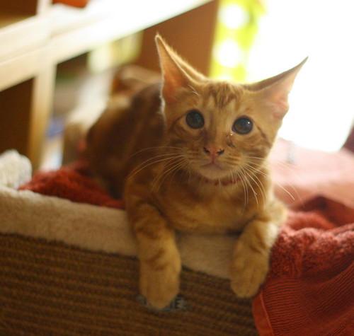 Rowen, gato rojo dibujo tabby activo y guapo esterilizado nacido en Abril´18, en adopción. Valencia. ADOPTADO. 43858690292_7c47ff4e60