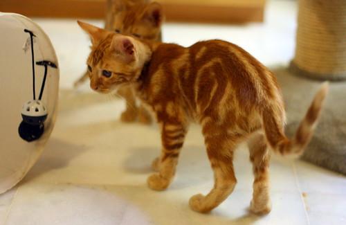 Rowen, gato rojo dibujo tabby activo y guapo esterilizado nacido en Abril´18, en adopción. Valencia. ADOPTADO. 43907612031_4819df7b6a