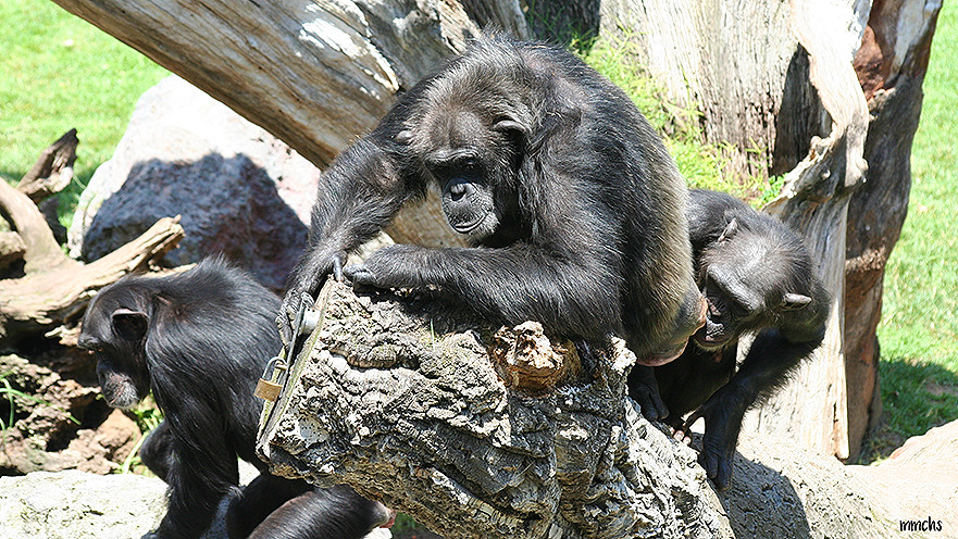 chimpance en arbol
