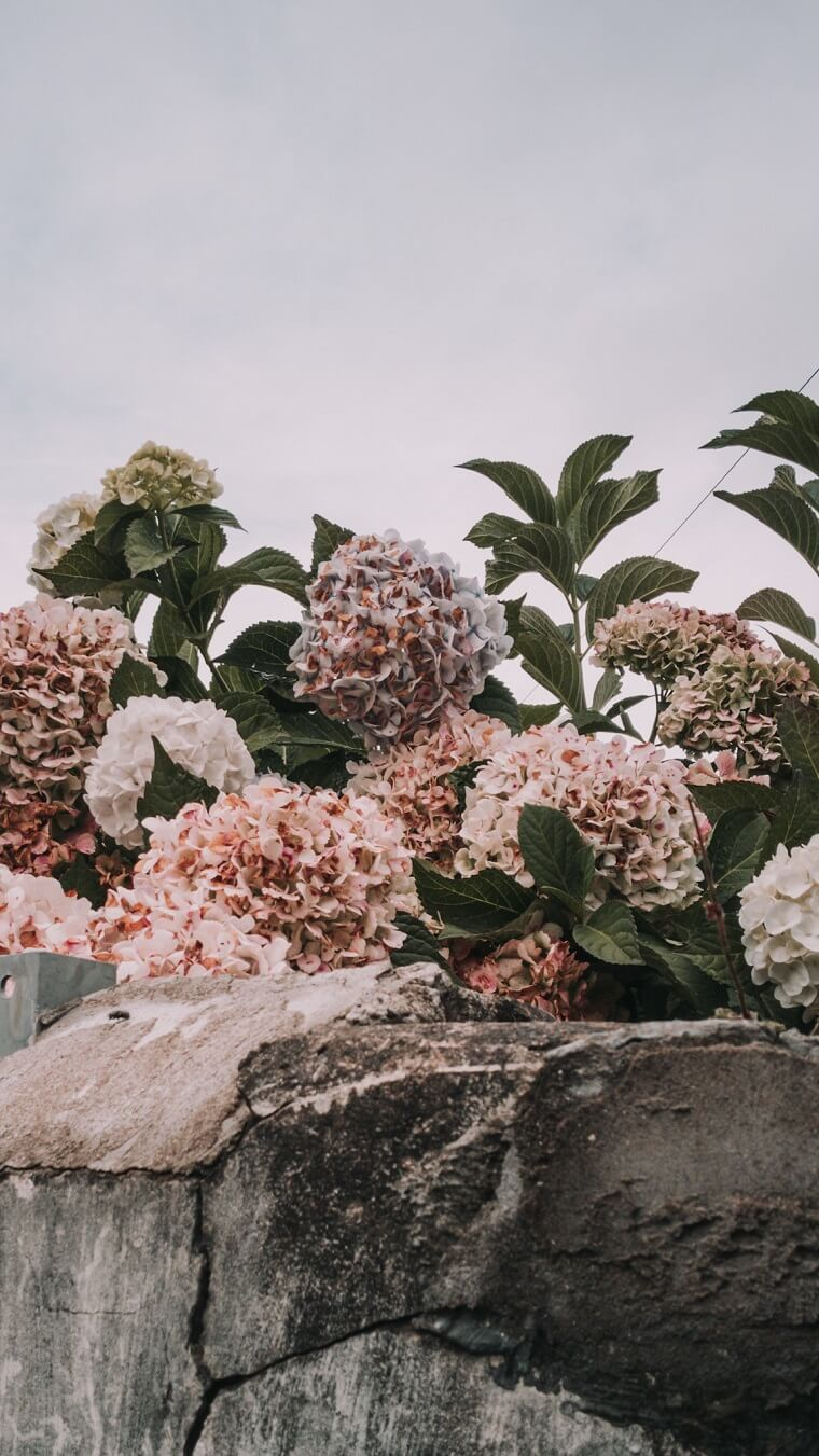 Hydrangeas peeking over wall