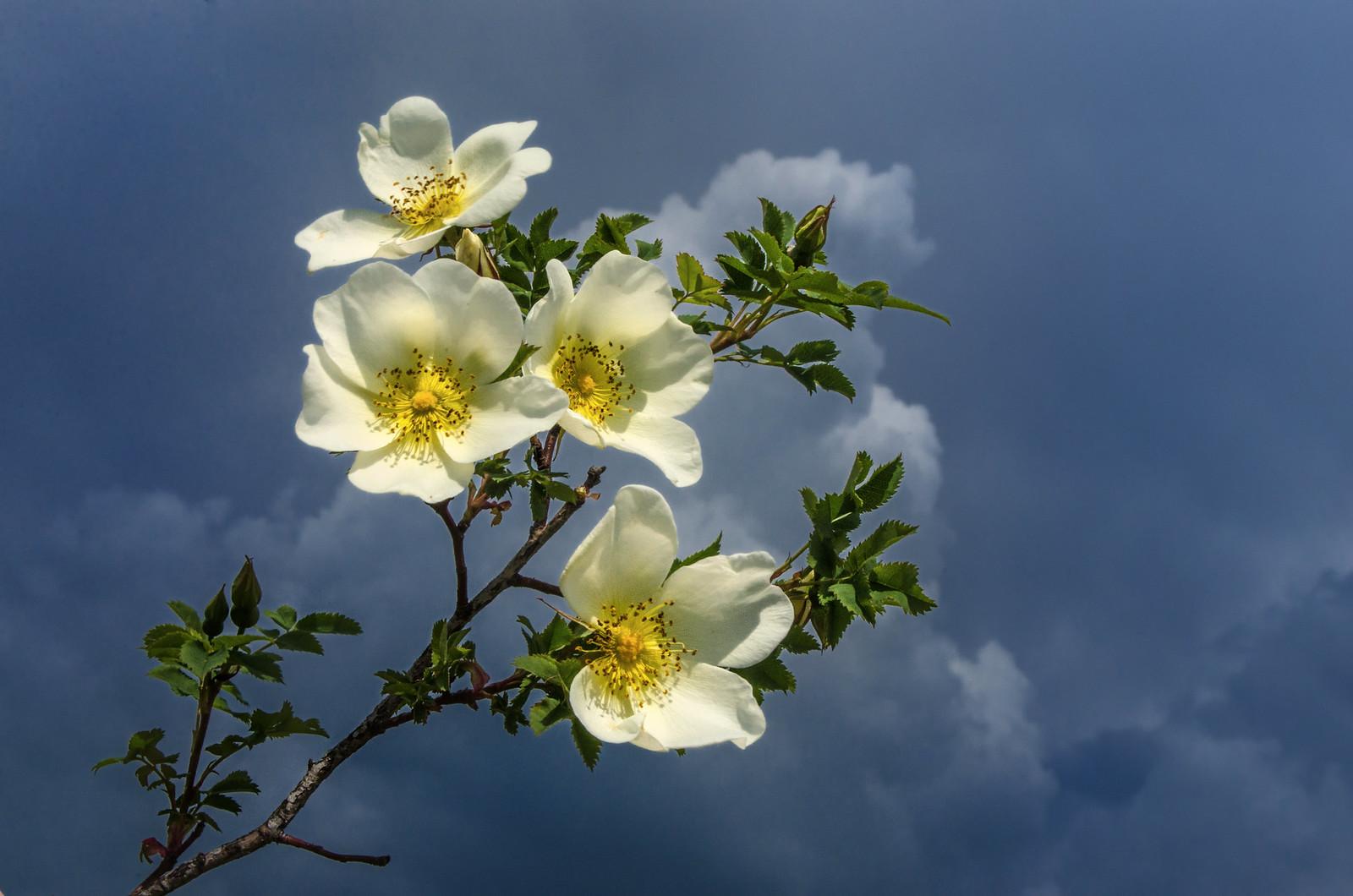 Перед грозой. Белый шиповник.  фотограф Челябинск