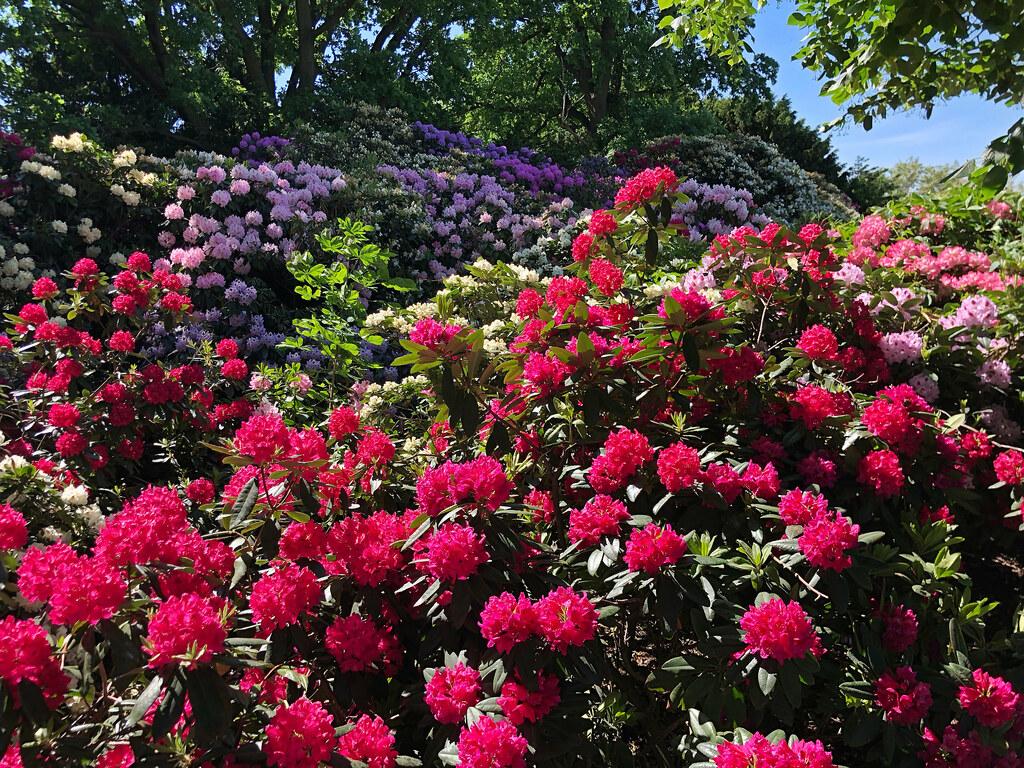 rhododendron at the rose garden in volkspark humboldthain flickr. Black Bedroom Furniture Sets. Home Design Ideas
