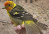western tanager bird which is yellow and orange in color