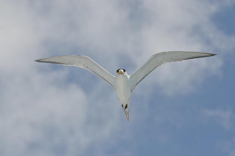 鳳頭燕鷗展翅。台北市野鳥學會提供。