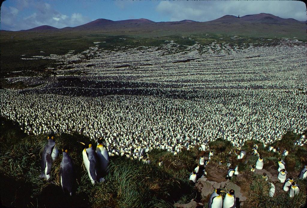 1982年的國王企鵝族群。 Henry Weimerskirch