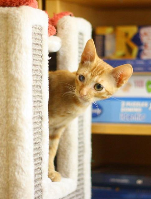 Rohit, gatito naranja cojito súper dulce y bueno, nacido en Abril´18, en adopción. Valencia. RESERVADO. 42098318220_0fbf4fb447_z