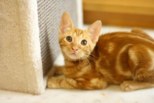 Rowen, gato rojo dibujo tabby activo y guapo esterilizado nacido en Abril´18, en adopción. Valencia. ADOPTADO. 43907621961_f03cca7f7d