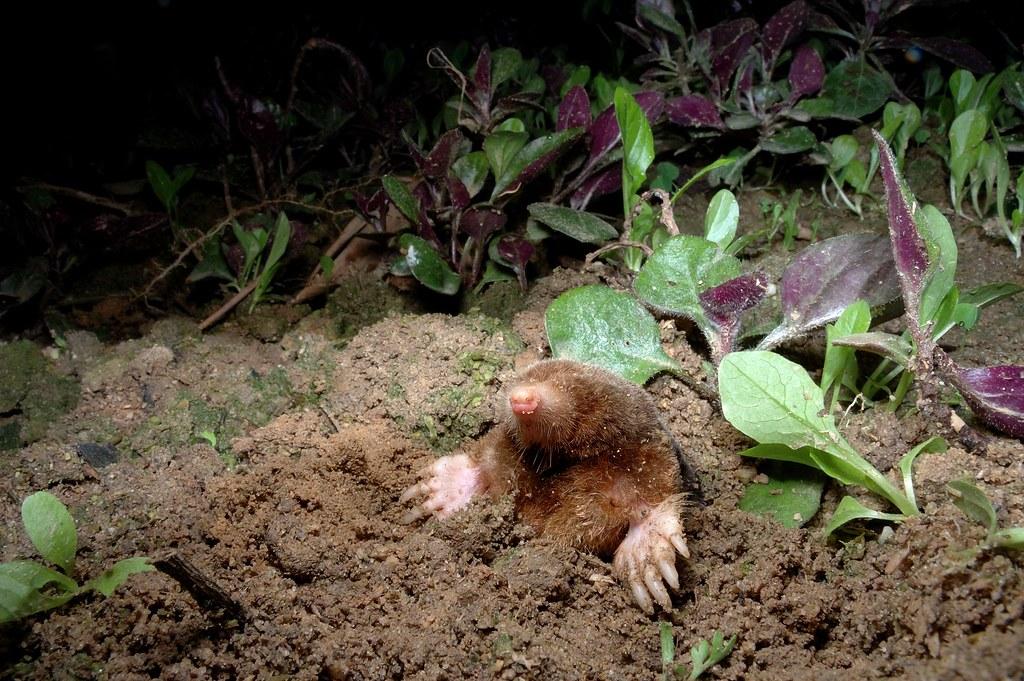 自然谷之星台灣鼴鼠