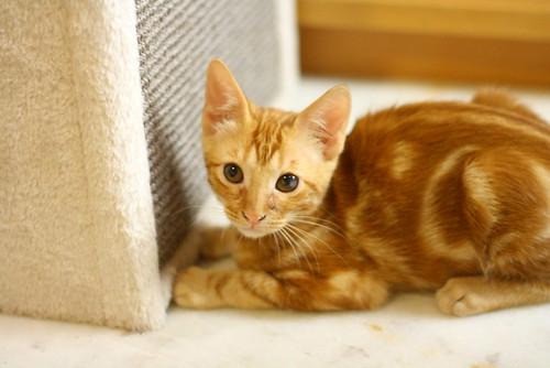 Rowen, gato rojo dibujo tabby activo y guapo esterilizado nacido en Abril´18, en adopción. Valencia. ADOPTADO. 42098400600_e1032659f2