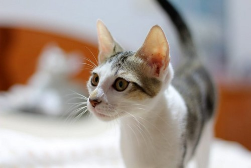 Sento, gatito blanquipardo dulcísimo y guapo nacido en Abril´18, en adopción. Valencia. ADOPTADO. 43087743575_0e88b25860