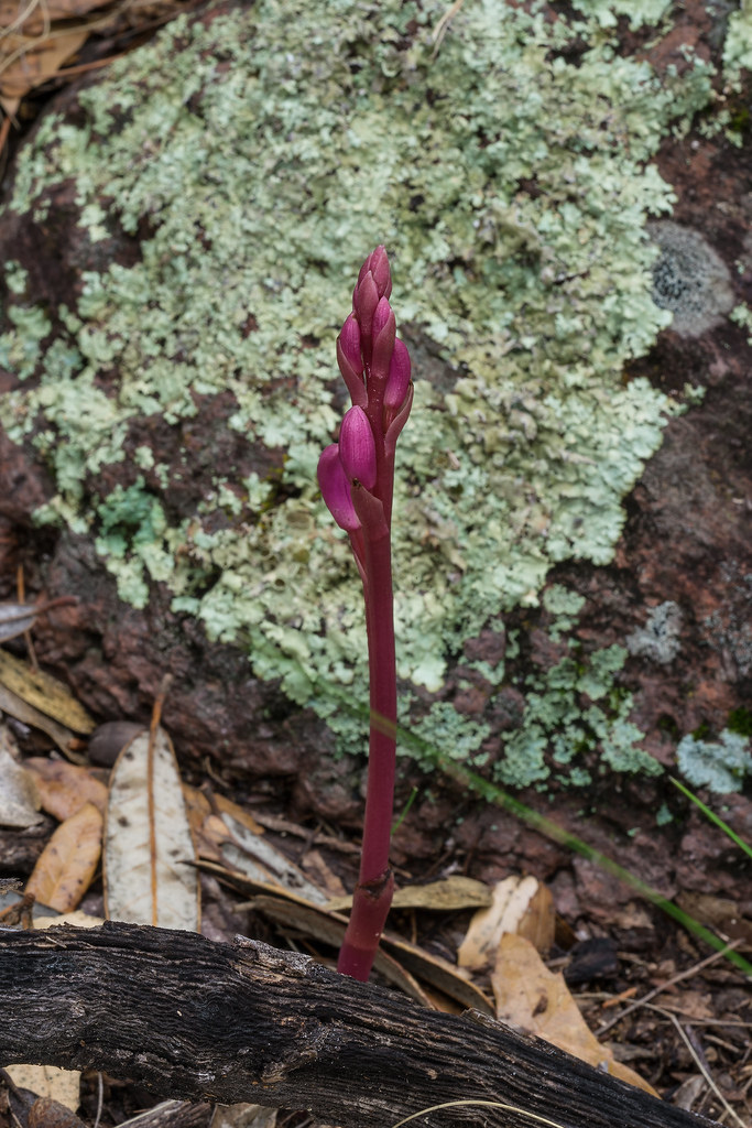 Giant Crested Coralroot orchid spike in bud