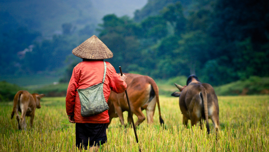 Cattle farmer in Thailand