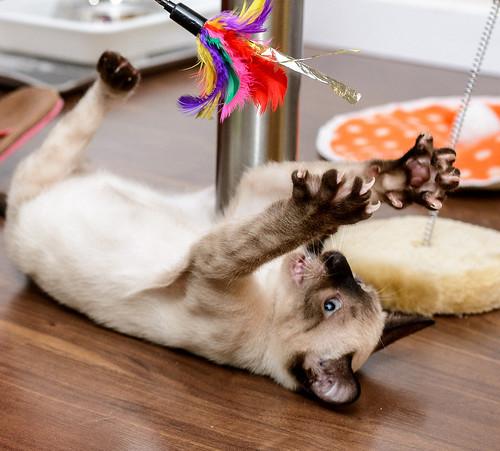 Boston, gatito Siamés Tabby reguapo y juguetón esterilizado, nacido en Marzo´18, en adopción. Valencia. ADOPTADO. 43385227202_a06dbdf377