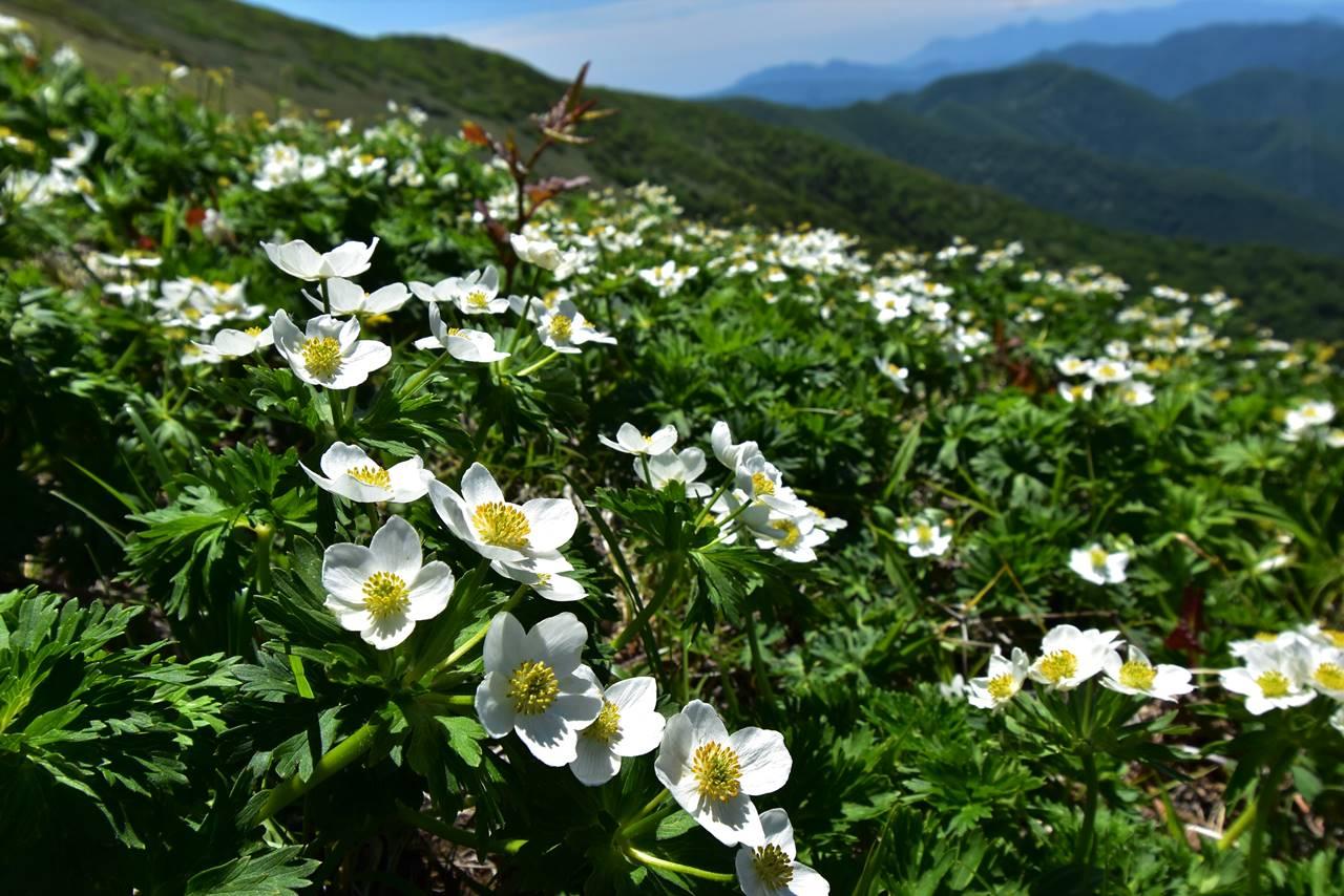 平標山のハクサンイチゲのお花畑