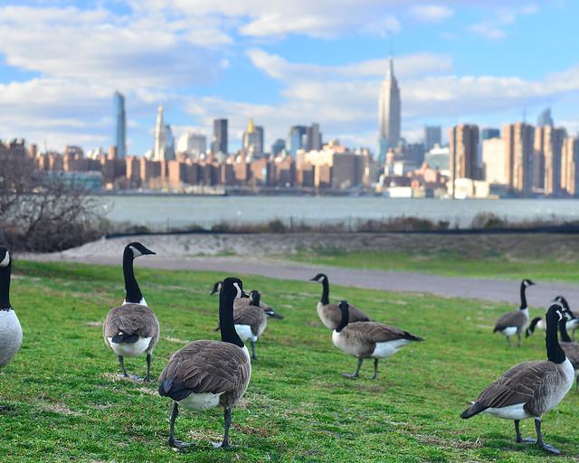 Patos con el skyline de Nueva York al fondo