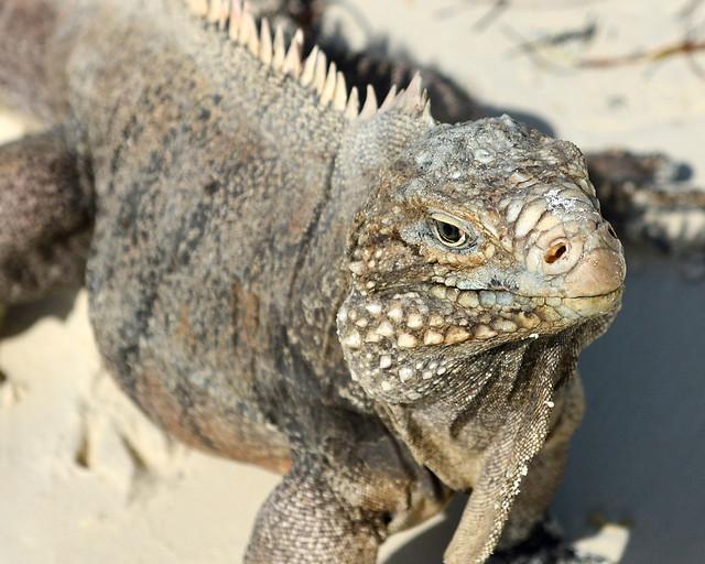 Iguana de la isla de las iguanas en Cayo Largo del Sur