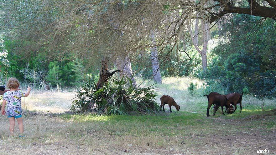 cabras playa Formentor Mallorca