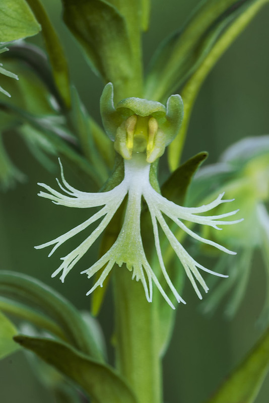 Ragged Fringed orchid