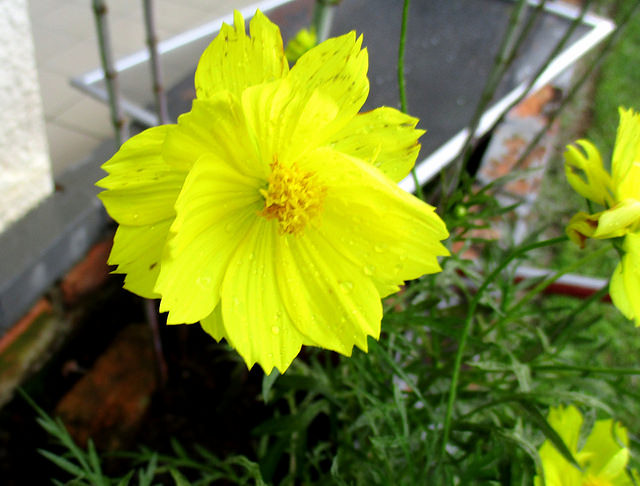 Ulam raja flower, yellow