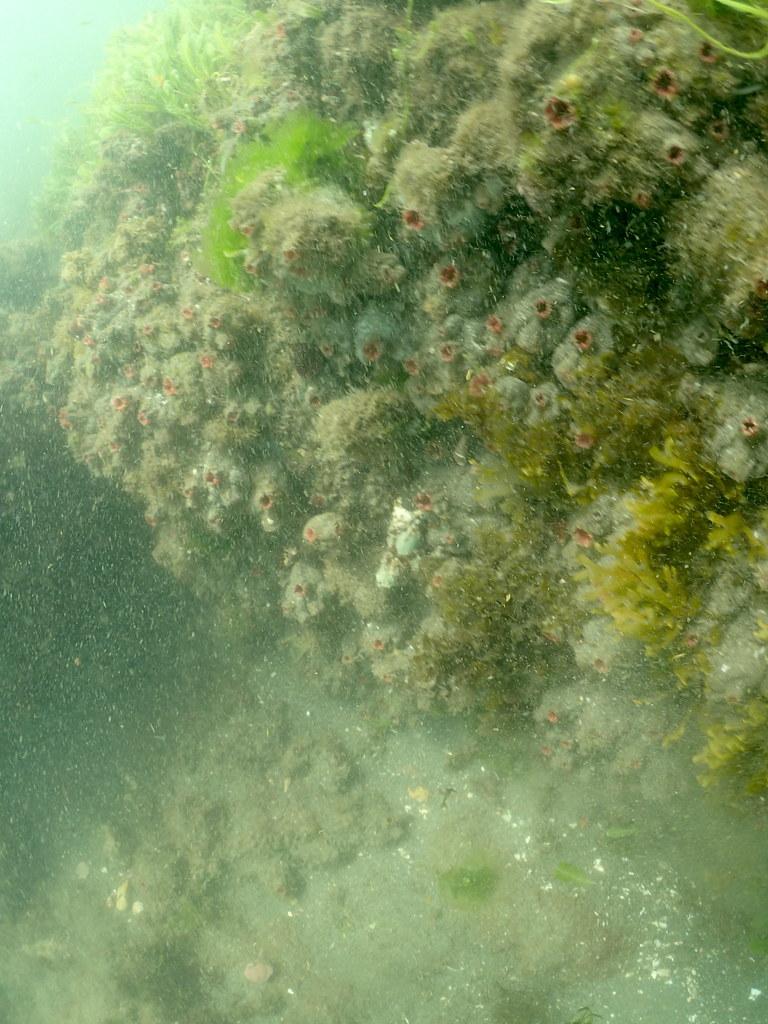 不知名的海鞘