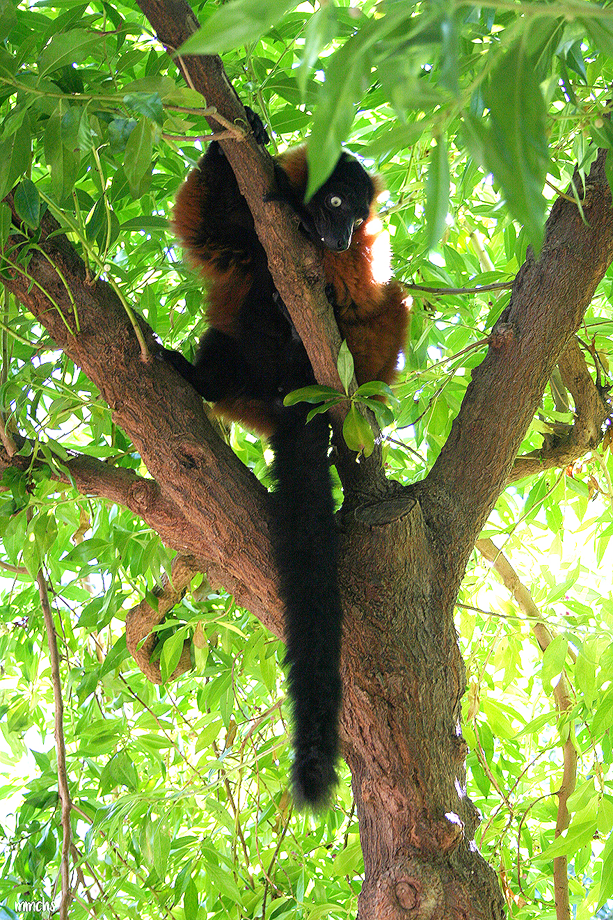 lémures en árbol