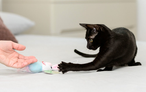 Bombón, gatita negra monísima y dulce esterilizada, nacida en Marzo´18 en adopción. Valencia. RESERVADA. 43443371881_0a58731a93