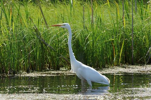 Большая белая цапля (Ardea alba) Автор: Привалова Марина