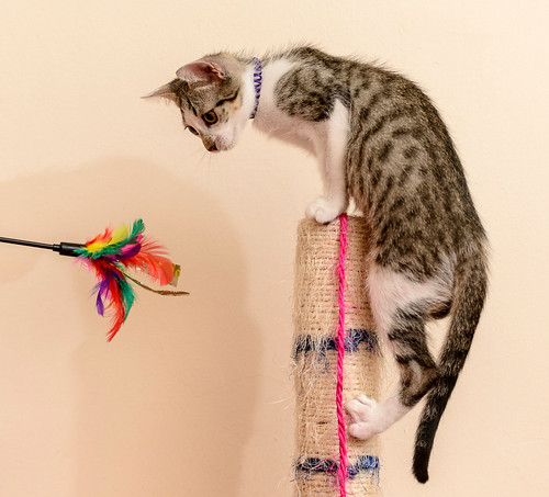 Sento, gatito blanquipardo dulcísimo y guapo nacido en Abril´18, en adopción. Valencia. ADOPTADO. 41617257090_649835e1e8