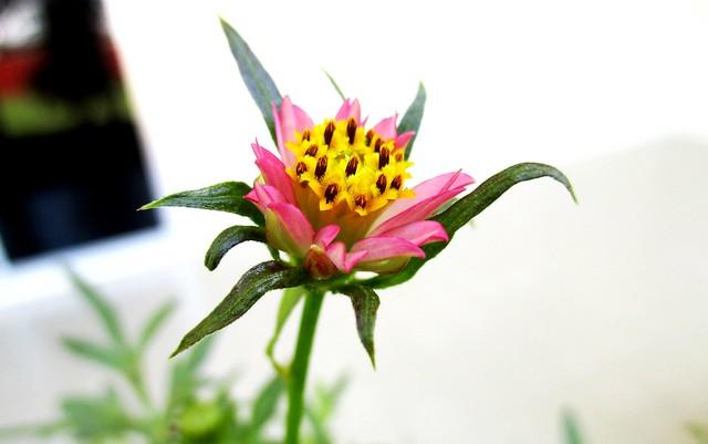 Ulam raja flower, pink 2