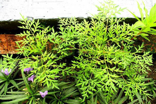 Ulam raja plants